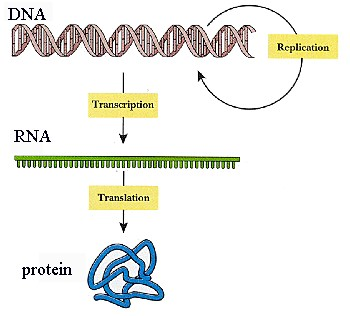Dna makes rna makes protein essay