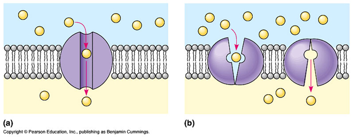 trnasport through the cell membrane Read and learn for free about the following article: passive transport and active transport across a cell membrane article.